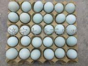 绿壳蛋鸡苗图片